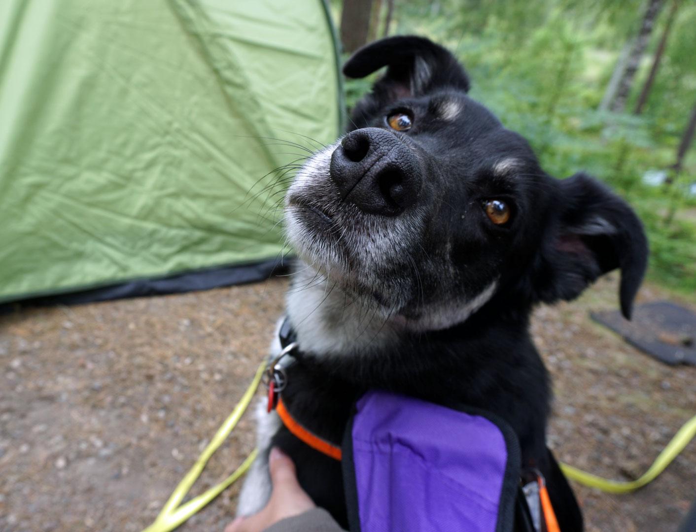 Nahaufnahme: Mein Hund Alex schaut in die Kamera.