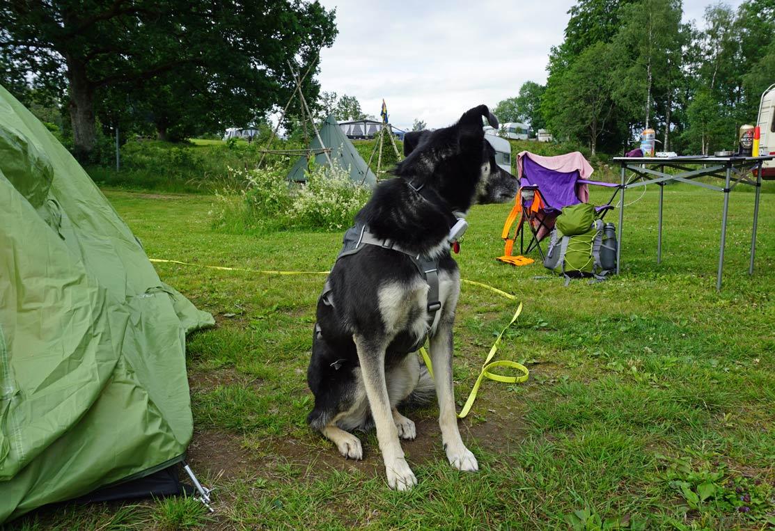 Mein Hund Alex sitzt vorm Zelt auf dem Campingplatz.
