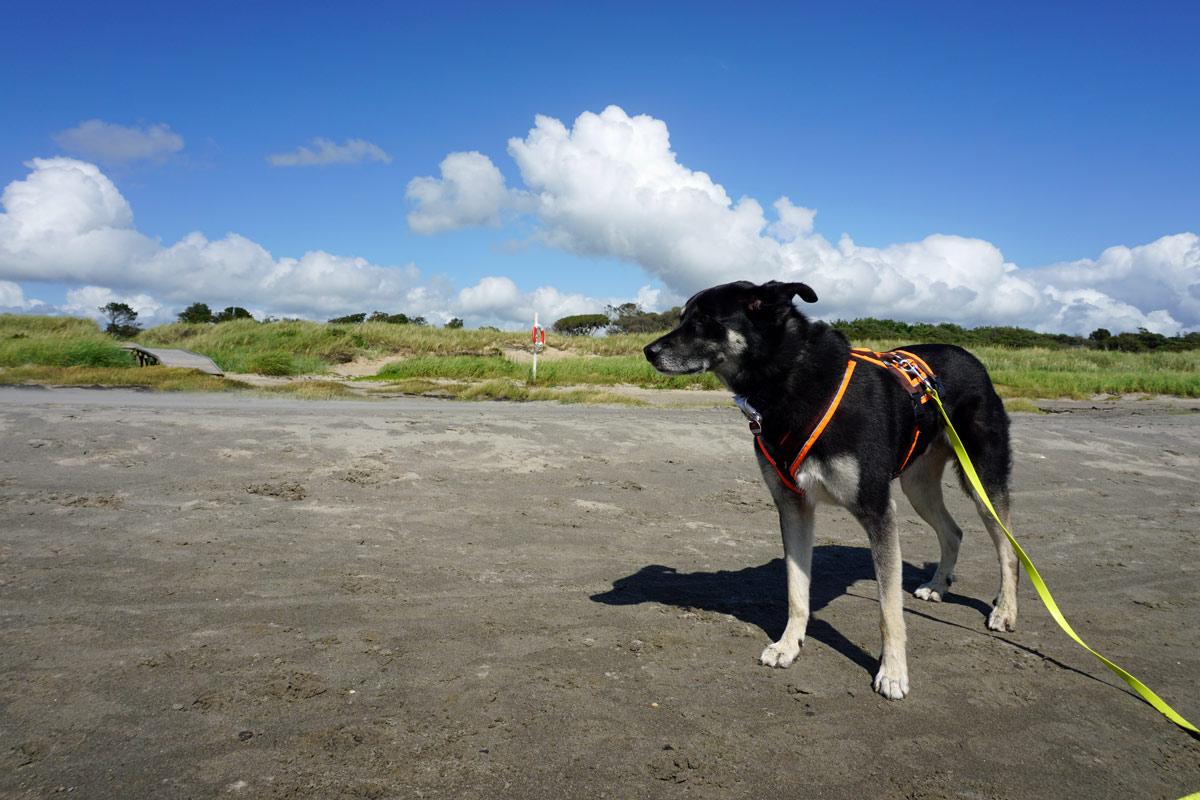 Mein Hund Alex lässt sich am Strand von Haverdal den Wind um die Ohren fegen.