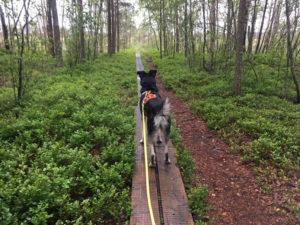 Mein Hund Alx läuft auf den Holzstegen, die durchs Morr führen.