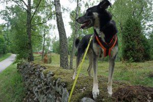 Mein hund Alex steht auf einer Steinmauer.